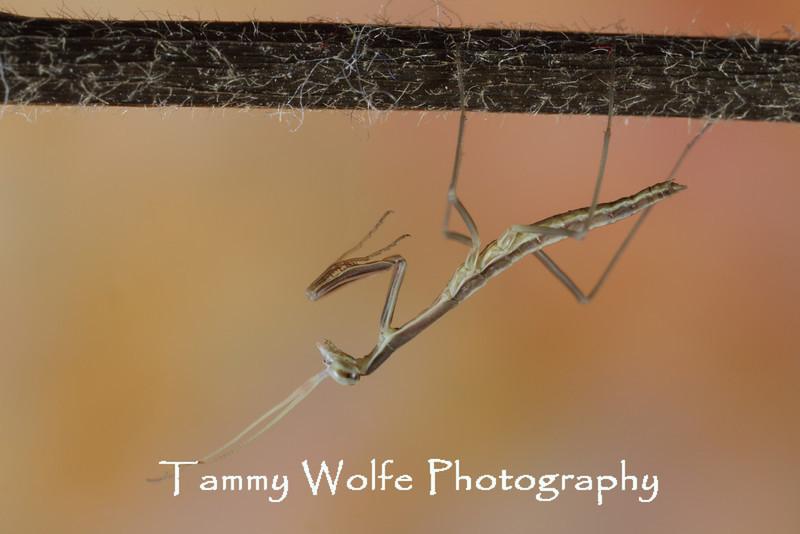 Brunner's Mantis (Brunneria borealis)