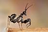 Spiny Flower Mantis (Pseudocreobotra wahlbergii), L2 nymph