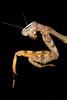 Budwing Mantis (Parasphendale agrionina)*