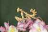 Devil's Flower Mantis (Blepharopsis mendica) Nymph