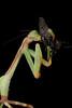 South American Green Mantis (Oxyopsis gracilis)