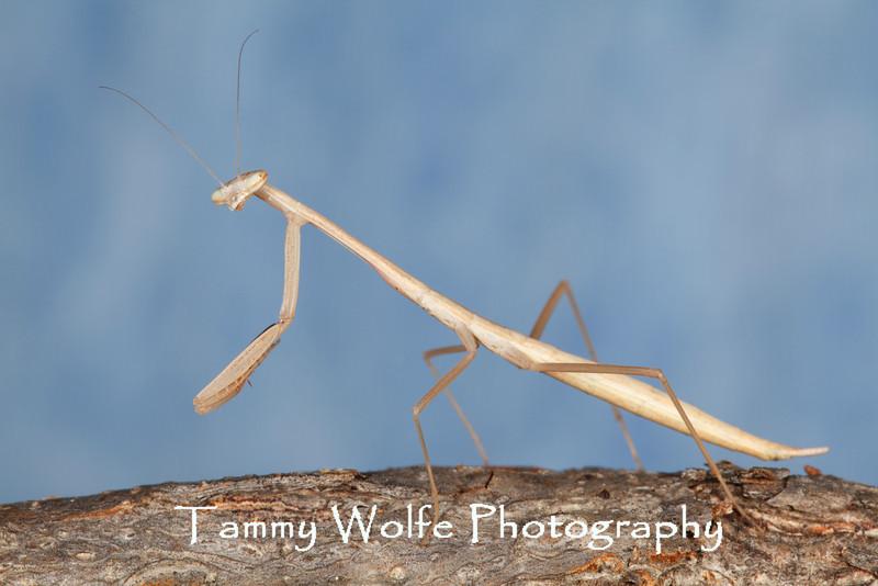 Mesopteryx alata