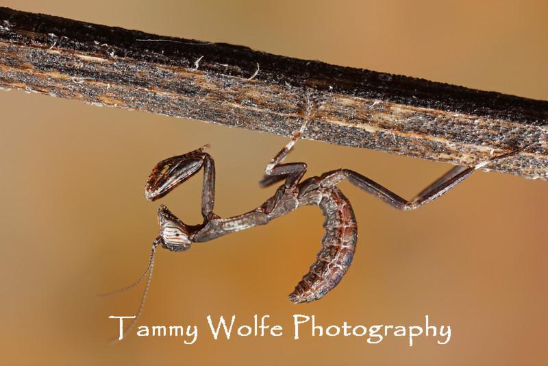 African Twig Mantis (Popa spurca), L1 nymph