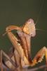 Blue Flash Mantis (Sphodromantis sp.)