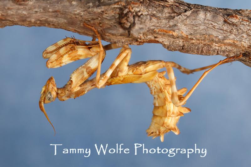 Thistle Mantis (Blepharopsis mendica), male