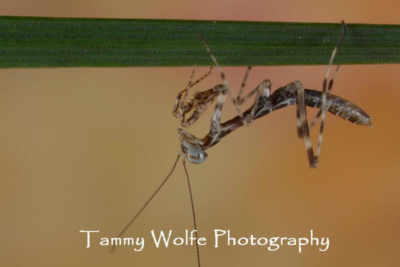 Polyspilota griffinii (Griffin Mantis)