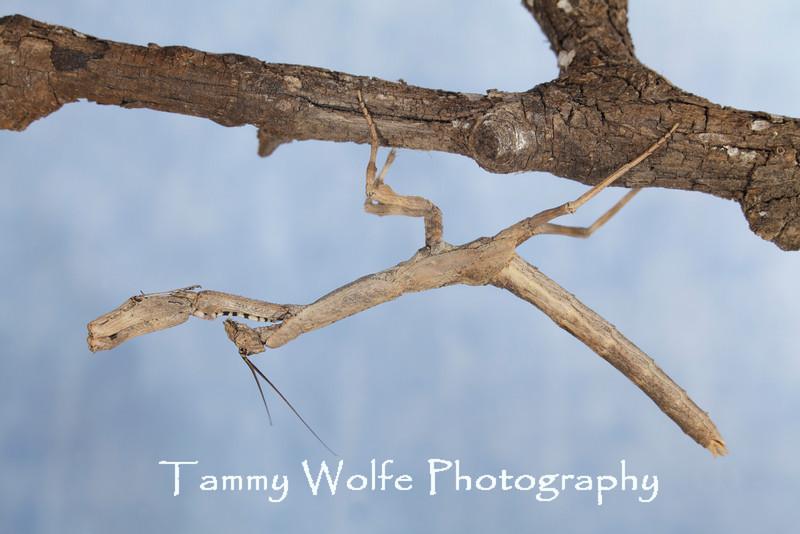 African Twig Mantis (Popa spurca)