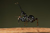 Spiny Flower Mantis (Pseudocreobotra wahlbergii), L2 nymph eating a melanogaster fruit fly