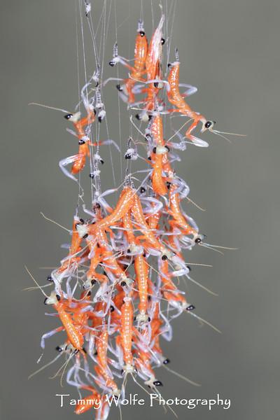 Orchid Mantis (Hymenopus coronatus), Ootheca hatching