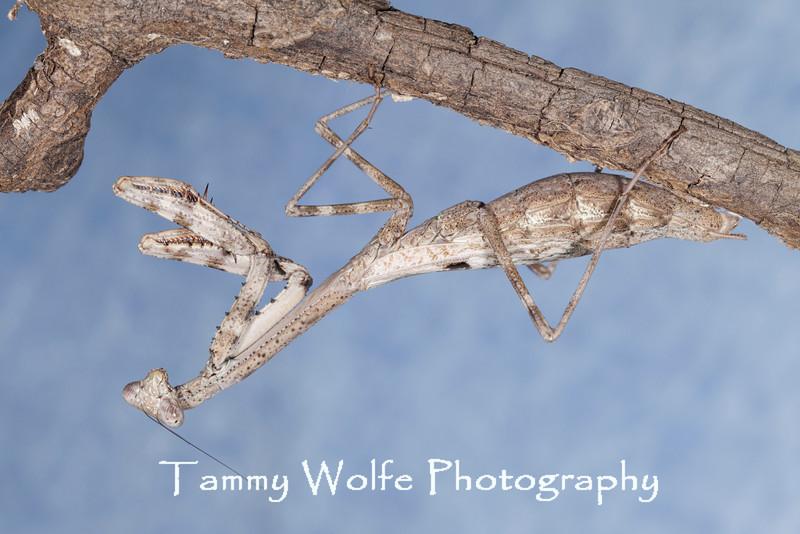Carolina mantis (Stagmomantis carolina)
