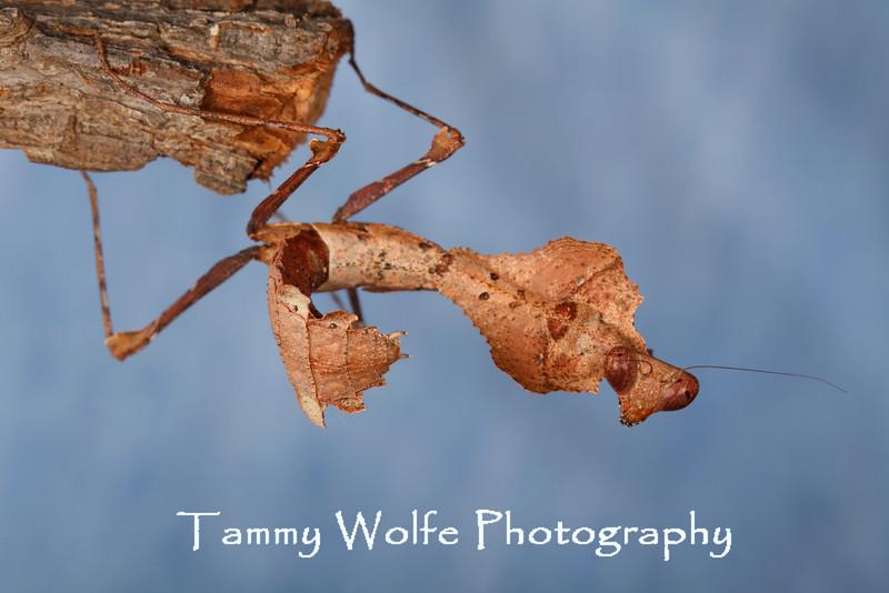 Dead Leaf (Deroplatys Dessicata)