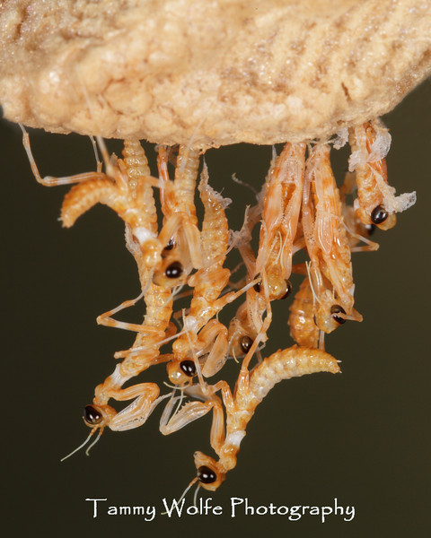 Thistle Mantis (Blepharopsis mendica), Ootheca hatching
