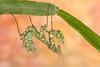 Thistle Mantis (Blepharopsis mendica), sub adult female