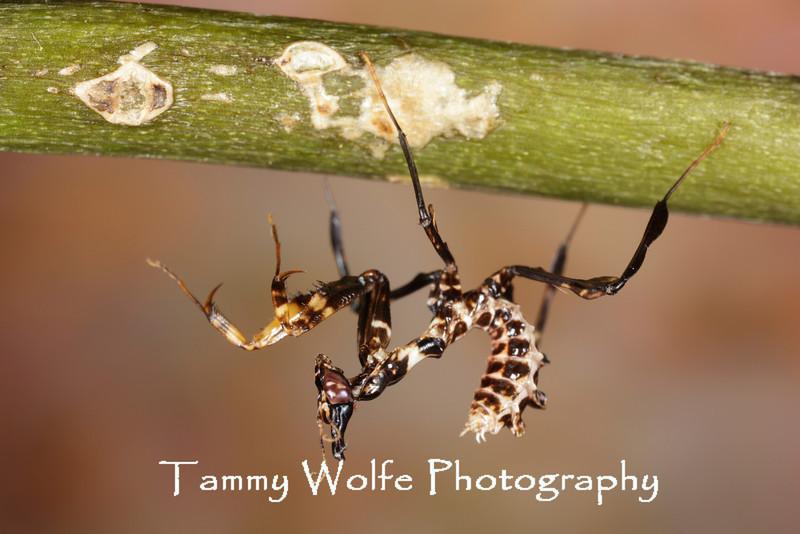 Devil's Flower Mantis (Idolomantis diabolica), L1 nymph