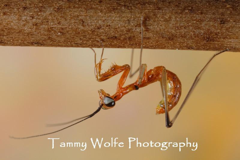 Lime Green Mantis (Taumantis Sigiana)