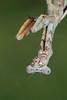 Budwing Mantis (Parasphendale agrionina)