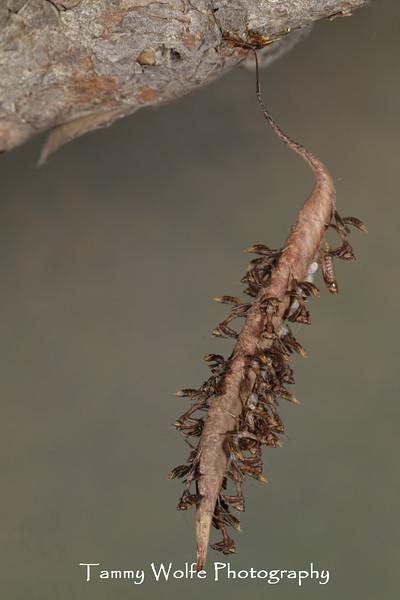 Decimiana bolivari ooth hatching