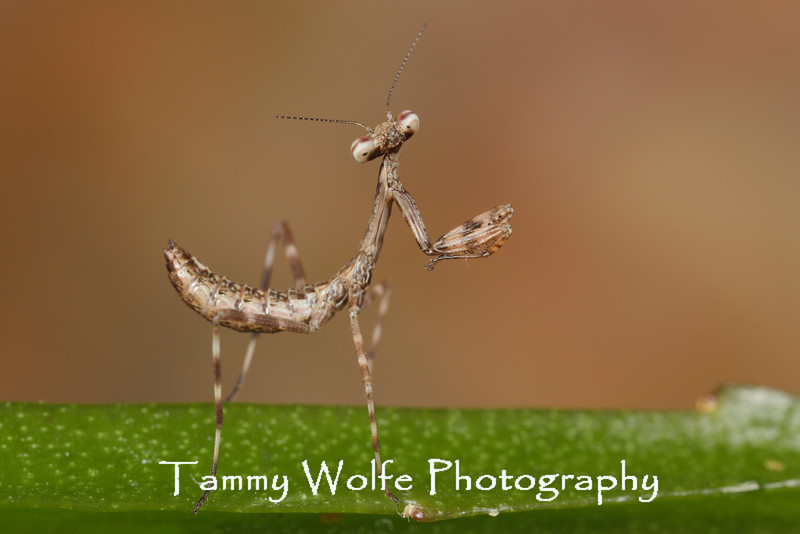 South American Green Mantis (Oxyopsis gracilis), L1 nymph