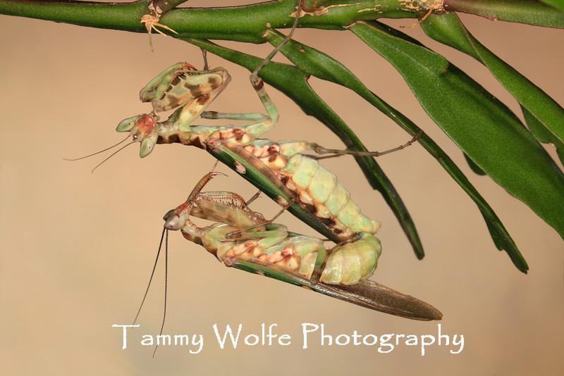 Asian Flower Mantis (Creobroter sp.) Mating