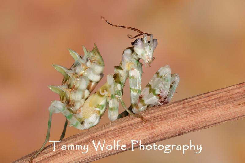 Spiny Flower Mantis (Pseudocreobotra wahlbergii), L6 nymph?