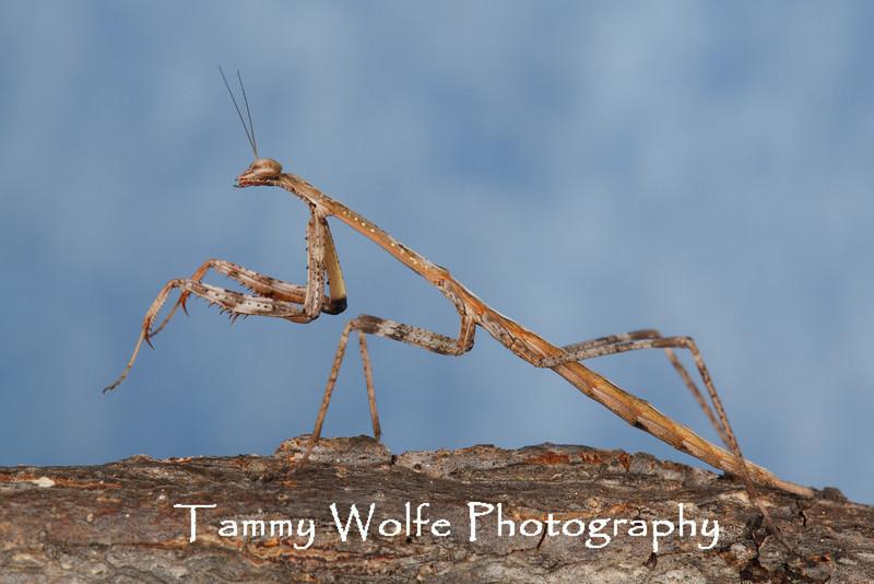 Stick Mantis or Australian Mantis (Archimantis latistyla)
