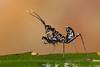 Spiny Flower Mantis (Pseudocreobotra wahlbergii), L1 Nymph