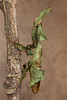 Adult Female Ghost Mantis (Phyllocrania paradoxa)