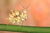 Spiny Flower Mantis (Pseudocreobotra wahlbergii), SubAdult Male