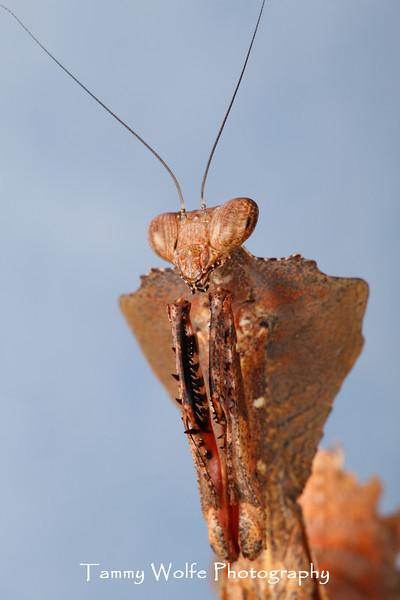 Dead Leaf (Deroplatys Desicata)