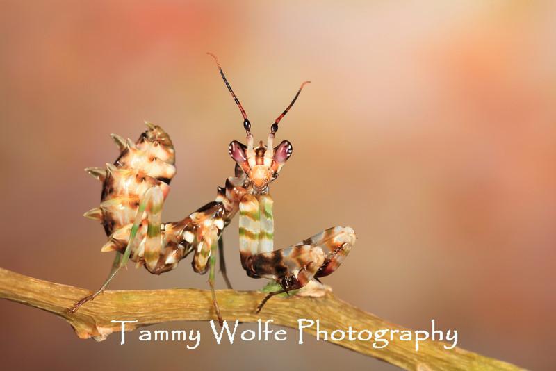 Spiny Flower Mantis (Pseudocreobotra wahlbergii), L4 Nymph