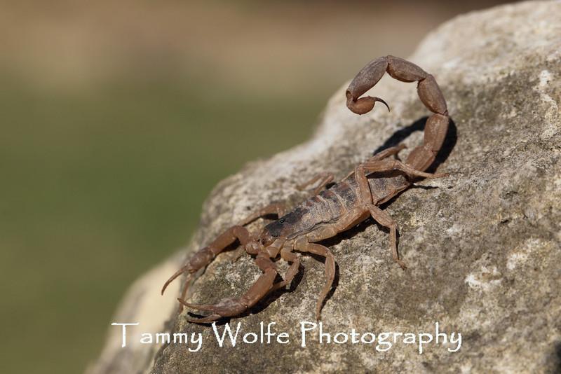Striped Bark Scorpion (Centruroides vittatus)