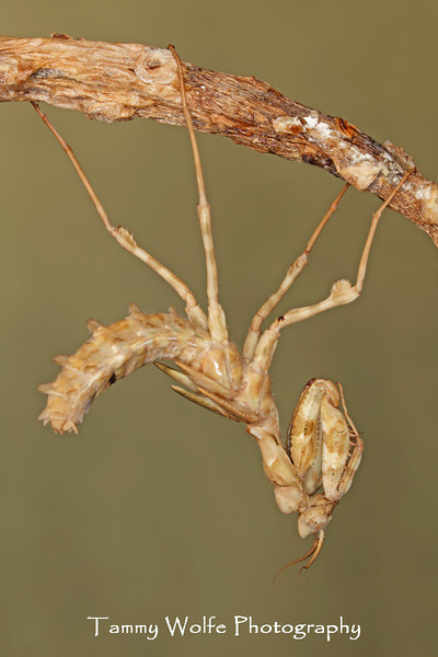 Thistle Mantis (Blepharopsis mendica), Male Molting to Adult