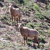 Desert Bighorn Sheep Tagged
