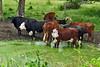 cows  macomb kk_011p