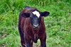 cows mi bm 7-14_019p