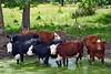 cows mi bm 7-14_022p