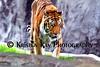 tiger zoo 7-2015_003