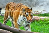 tiger tonguezoo 7-2015_009