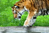 Tiger zoo best 7-15_009