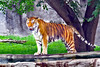 tiger sx_002