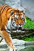 Tiger zoo best 7-15_006
