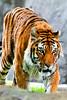 Tiger zoo best 7-15_005