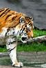 Tiger zoo best 7-15_007