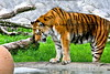 tiger and duck_002