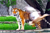 tiger and duck_003