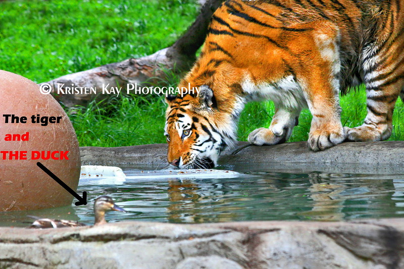 tiger and duck_001