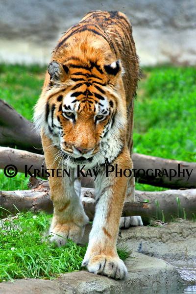 Tiger zoo best 7-15_008
