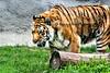tiger zoo 7-2015_006