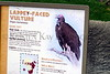 lappet-faced vulture_003