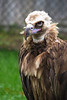 lappet-faced vulture_005